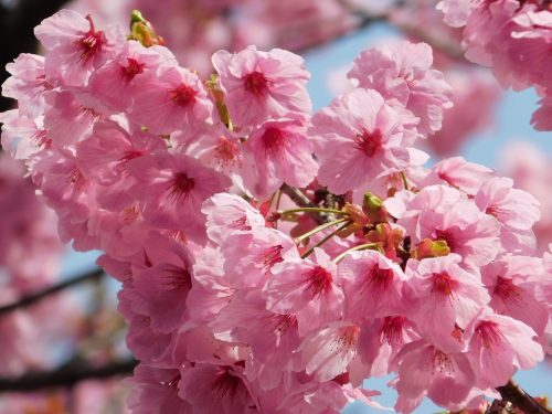 Tokyo Cherry Blossoms Spot Hanami Japan Season Yaezakura