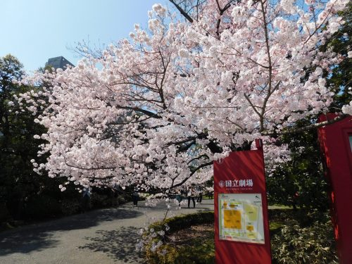 Tokyo Cherry Blossoms Spot Hanami Japan Season National Theater