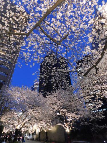 Tokyo Cherry Blossoms Spot Hanami Japan Season Roppongi Ark Hills