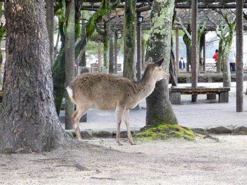 Zwischen Rehen und interessanten Geschichten – Ein Ausflug nach Miyajima