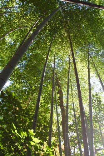 Ein Bambuswald, Okayama, Japan.