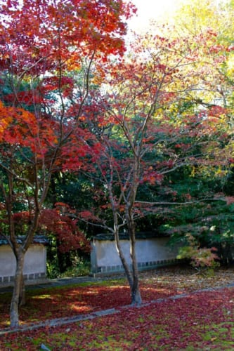 Roter japanischer Ahorn, Okayama, Japan.