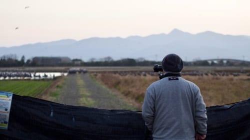 Kraniche am frühen Morgen in Izumi beobachten.