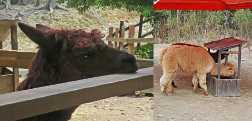 alpacas bio park zoo