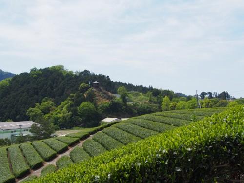Plantaciones de té en Wazuka.