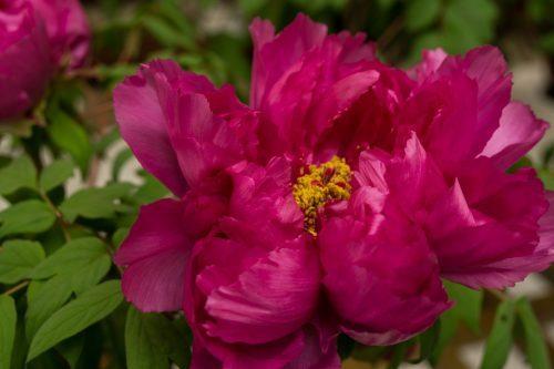 Flores de Botanchaya.
