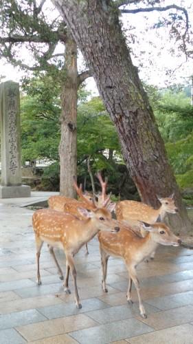 Biches et cerfs réclamant des biscuits à Nara dans le parc