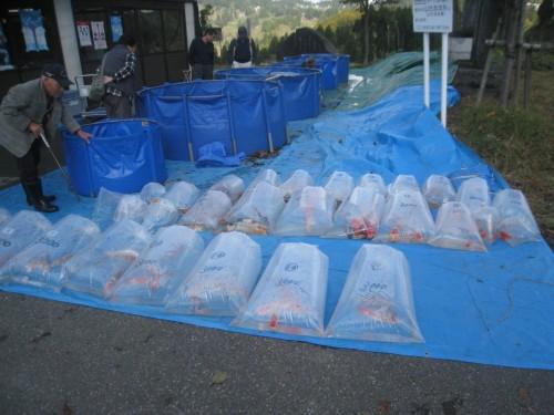 Enchères de carpes japonaises à Yamakoshi, Niigata, Japon.