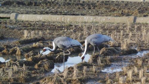 A pair of cranes in Izumi city