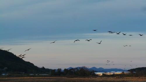Cranes are flying in the sky in Izumi city