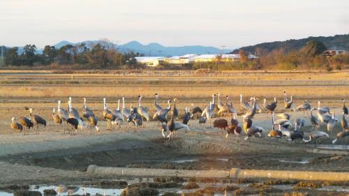 crane migration places in Izumi
