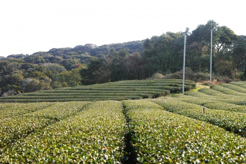 organic green tea plantation