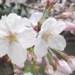 Cerisiers en fleurs autour et dans le Parc du Château de Sumpu dans la Ville de Shizuoka!