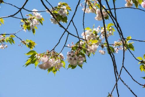 Les cerisiers en fleurs pendant le festival des enfants Kodomo no Hi à Tatebayashi