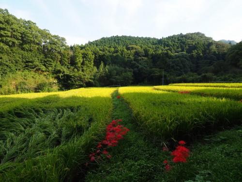 La ferme à Kofuji, sur l'ile de Kysuhu dans la préfecture d'Oita au Japon avec les cultures