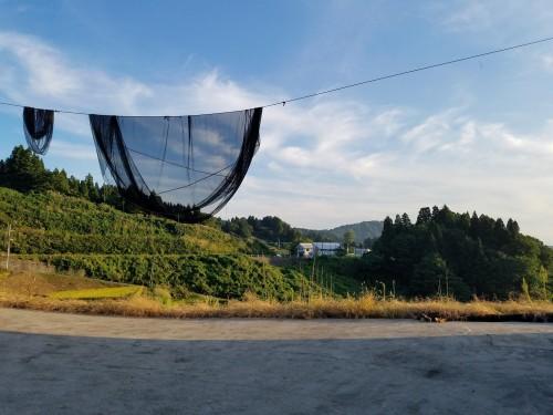 La culture des carpes colorées du village de Yamakoshi au Japon