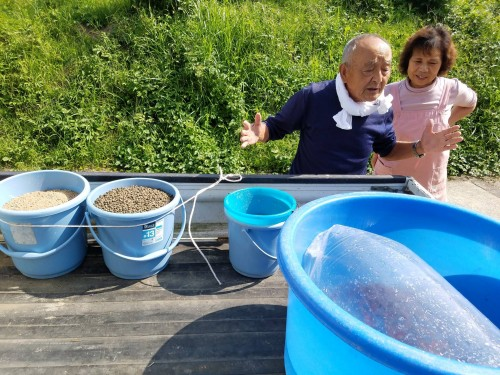 La culture des carpes colorées du village de Yamakoshi au Japon