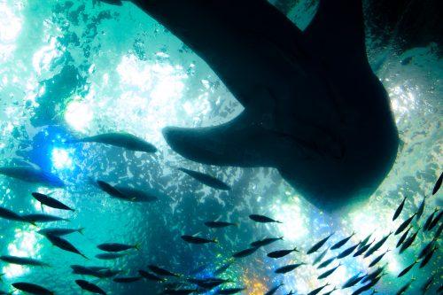 Requin-baleine dans l'aquarium de Churaumi sur l'île d'Okinawa, Japon