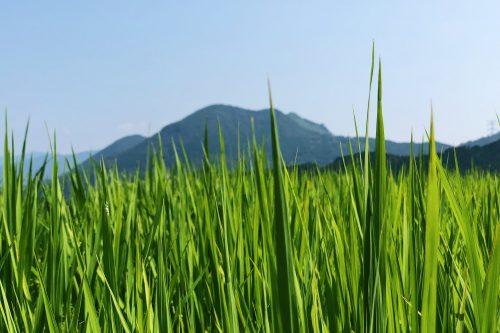 Rizières à perte de vue à Toon, préfecture d'Ehime, Japon