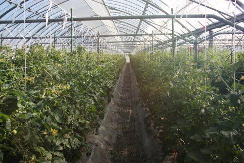 Les plants de tomates cerises sous serre de M et Mme Komiya à Minamisatsuma, Kagoshima, Kyushu, Japon