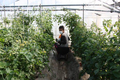 M Komiya dans sa serre de tomates cerises à Minamisatsuma, Kagoshima, Kyushu, Japon