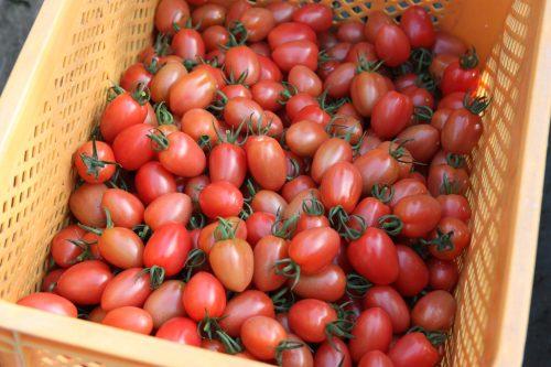 Récolte de tomates cerises sur l'exploitation de M et Mme Komiya à Minamisatsuma, Kagoshima, Kyushu, Japon