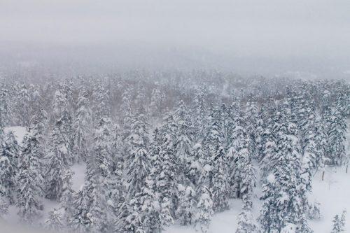 Forêt de pins enneigés sur les pentes du mont Daisetsuzan en chemin vers Asahidake Onsen, Hokkaido, Japon