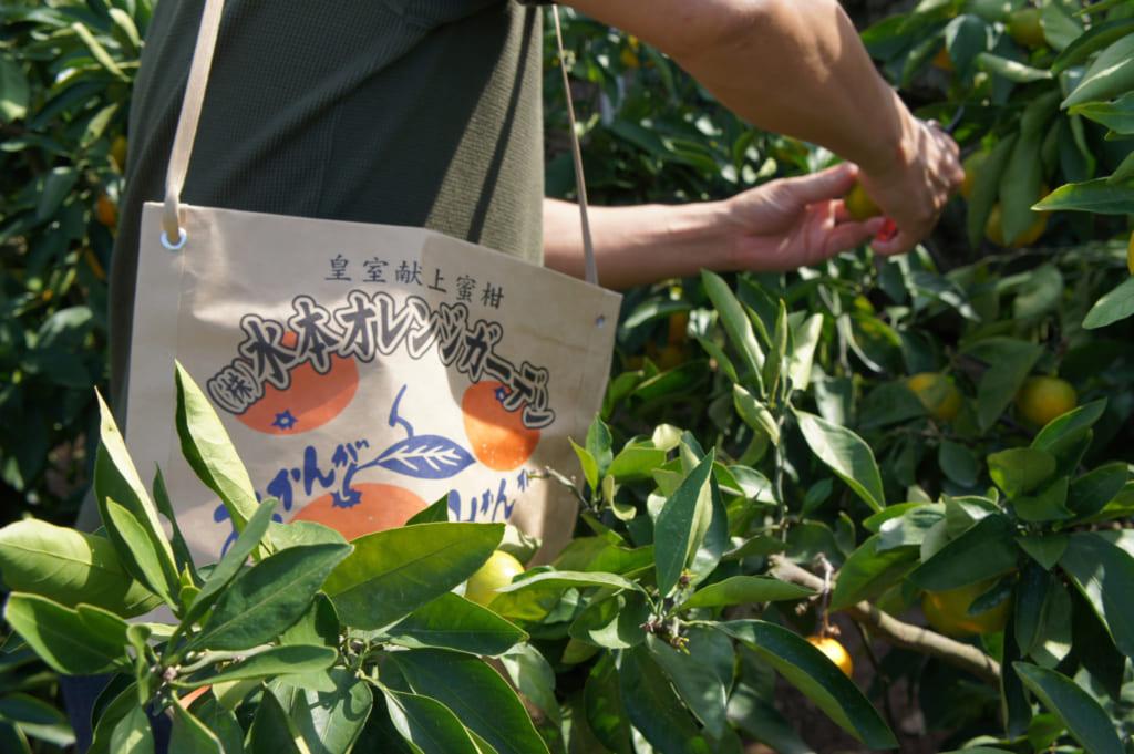 Personne cueillant des agrumes, avec un sac en papier en bandouillère