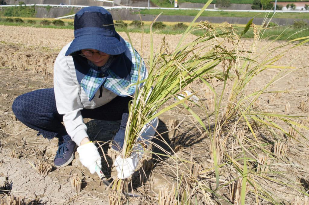 Clémentine s'essayant à la moisson du riz à Kikuchi
