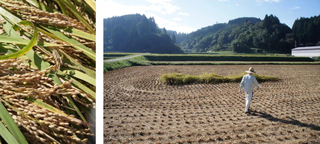 Gros plan sur des brins de riz, et la parcelle laissée pour moi au milieu de la rizière