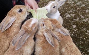 Rabbit Island: Take a trip to Ōkunoshima!