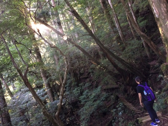 Yakusugi in a playground for nature lovers
