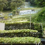 A visit to the birthplace of Wasabi, Utogi