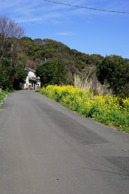 canola flowers blossom while Cycling in Nokonoshima Fukuoka