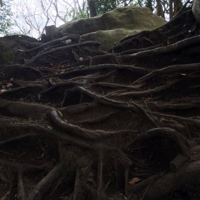 Those nature gnarls, Daibutsu hiking trail, Kamakura