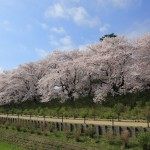 Ohanami manners: the Do's and Don'ts of Cherry Blossom Viewing