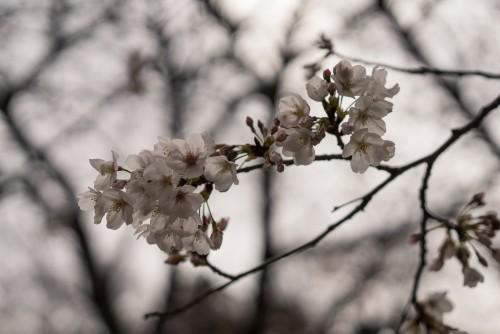 Myohonji, Buddha, temple, Kamakura, Kanagawa, history, sakura, nature, cherry blossom