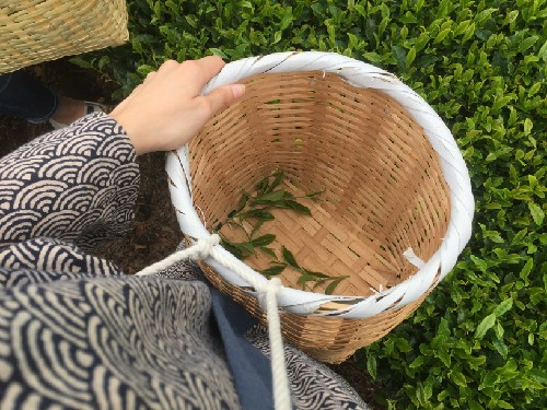 traditional tea picking outfits, consisting of cotton hapi coats, bandanas, wicker baskets, and picking gloves are provided free of charge