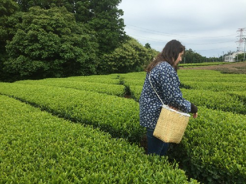Green tea picking in Shizuoka