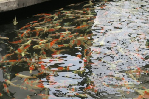 Nishiki Koi, in the carp farm pond