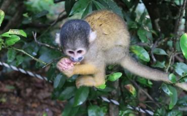 Monkey Park Ishigaki Yaima Village Okinawa Japan Mangrove Animals Nature