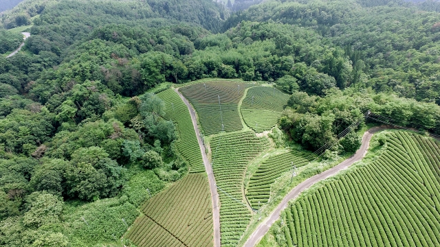 green tea farms in Japan