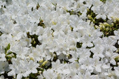 A White Bouquet, Murakami Gardens