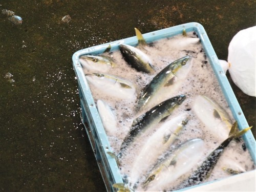 Buri, otherwise known by its western name, Japanese amberjack,, famous fish in Himi.
