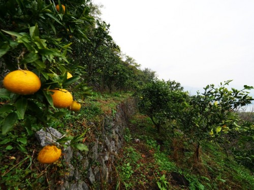 Mikan's terraced field in face of Uwakai sea, Ehime, Japan.