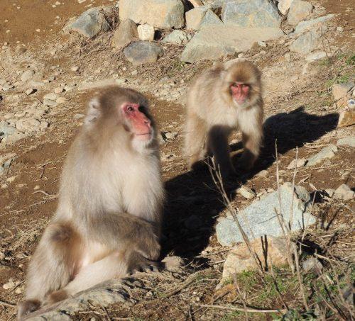 Treffen Sie japanische Makaken im Schneeaffenpark im Shiga Kogen Nationalpark