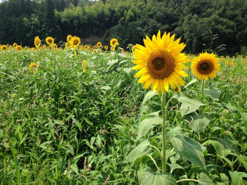 Yosano Sunflower Fields Kyotango Tango Northern Kyoto Summer Nature Coast Himawari