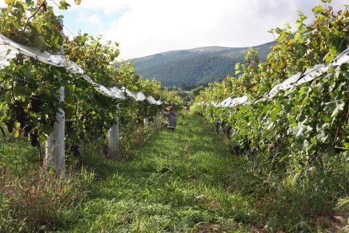 Discover the Kuju winery in Kyushu Island in depth, in Japan.