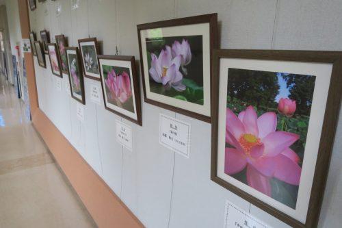 The lotus pond park in Gyoda City, Saitama Prefecture, Japan.