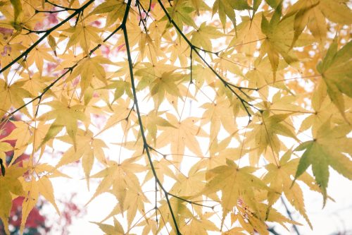 Autumn colors on the maple trees of Minoh, Osaka, Kinki region, Japan
